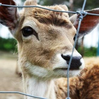 Bambi eyes