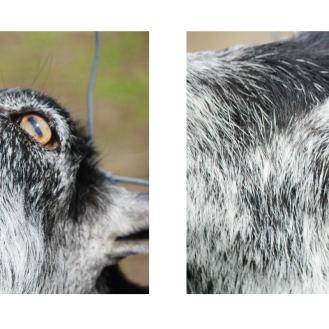Goat's eyes