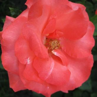 Tangerine Rose
